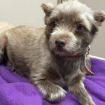 meet pixy north shore america latest 2015 rescue me crop