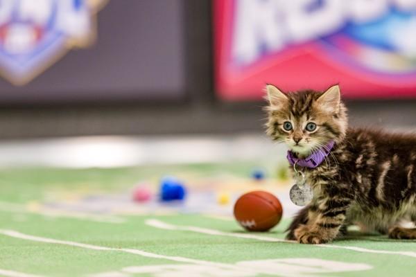 cute kitten football 2016