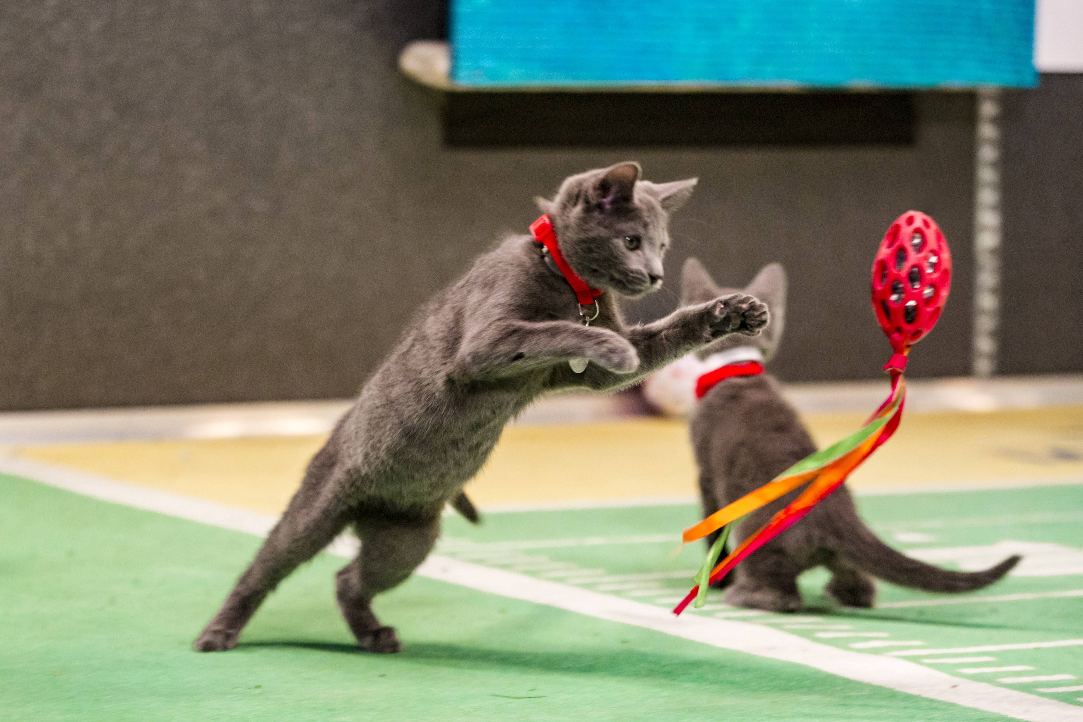 Kitten Bowl III takes on Super Bowl 50 beth stern 2016