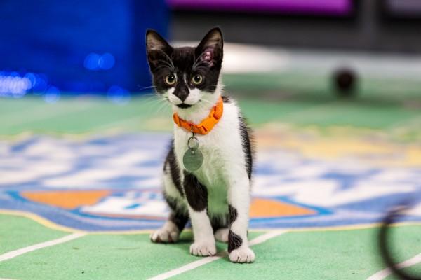 kitten bowl 3 black cat fight 2016