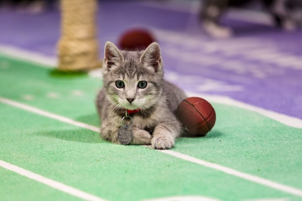 Kitten Bowl III laying down for kick
