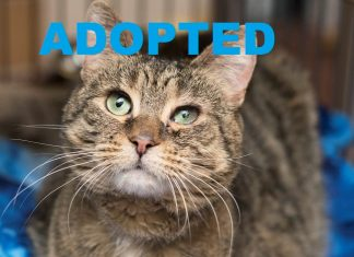 Meet Brie NSALA's latest adoptable cat ready for a great home 2016 images cropped