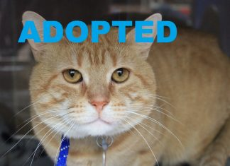 Meet Captain Teddy NSALA's latest adoptable pet cat ready for a great home 2016 mttg