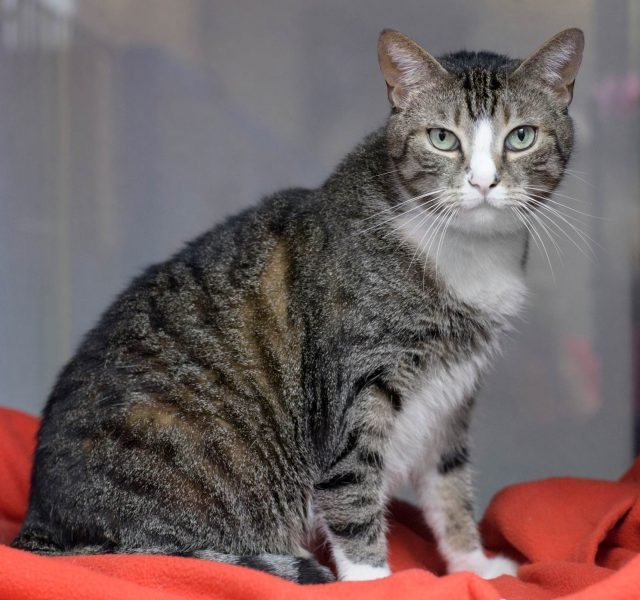 Calypso adoptable rescue cat movie tv tech geeks - MA2529