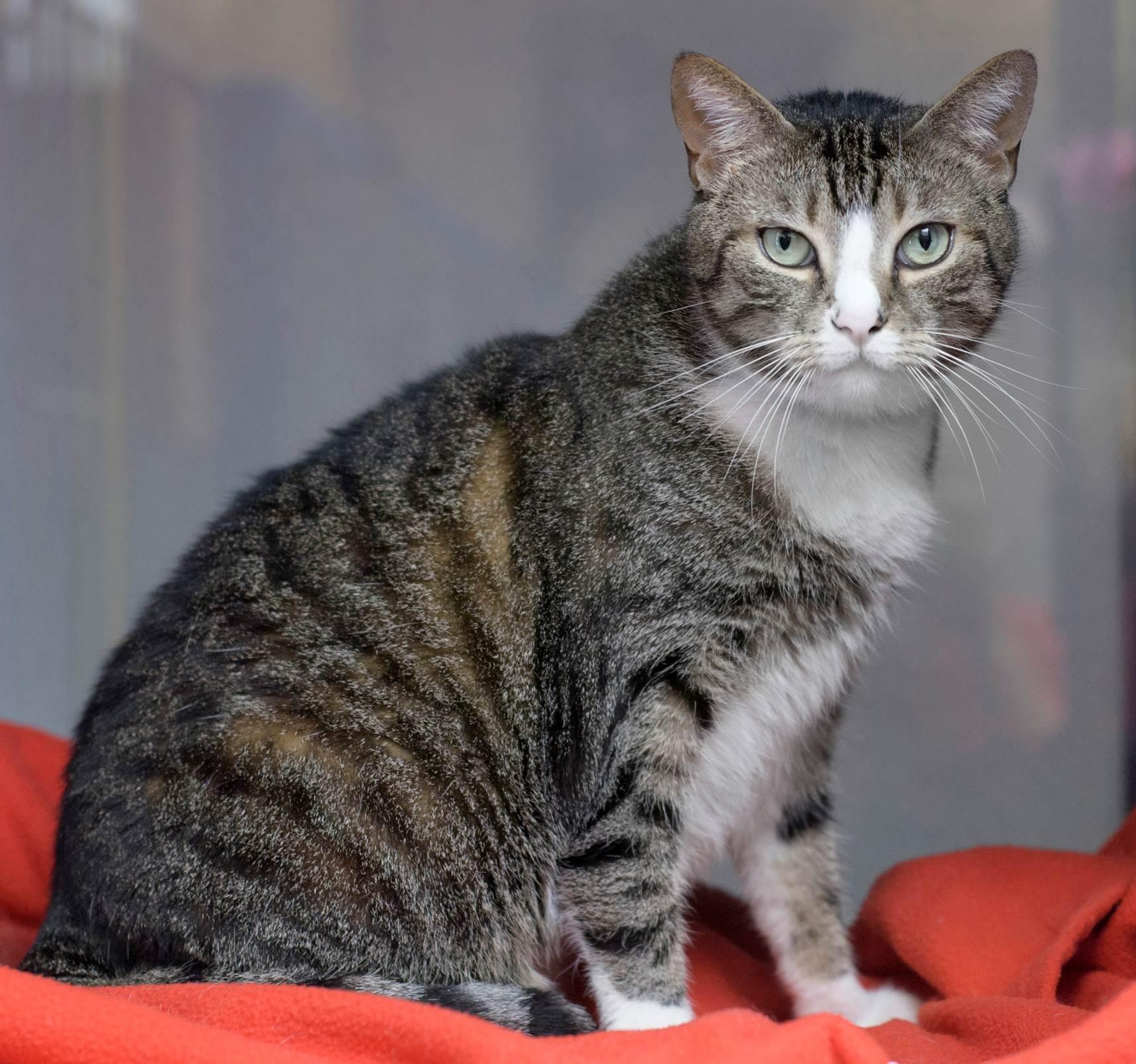 Calypso adoptable rescue cat movie tv tech geeks - MA2529