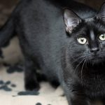 Meet Pom Pom NSALA's latest adoptable cat ready for a great home