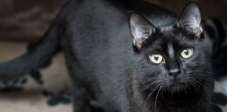 Meet Pom Pom NSALA's latest adoptable cat ready for a great home 2016 images