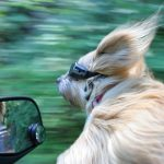 dog hanging out of car window moving