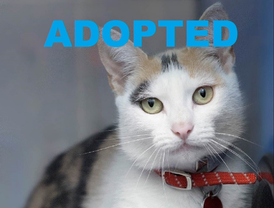 Meet Pepper Jack NSALA's latest adoptable cat ready for a great home 2016 images