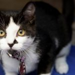 Meet sia NSALA's latest adoptable cat ready for a great home 2016