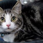 Meet Connor, NSALAs latest rescue cat ready for a good home 2016 images
