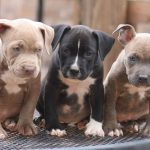 Justice for Pit Bulls: Fact vs Fiction