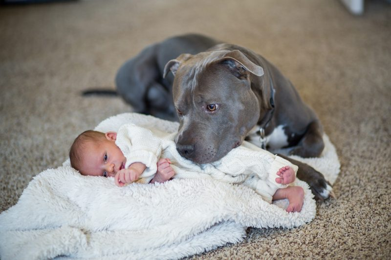 pitbulls given bad rep with children and babies