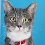 meet veronica nsalas rescue cat of the week needing a good home 2016 images