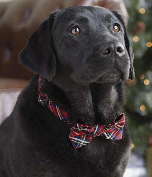 holiday pet collar