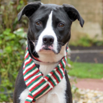 Maya: Our featured holiday rescue dog ready to be adopted at NSALA