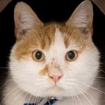 Meet Moose NSALA rescue cat looking for a new home 2017 images