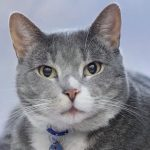 meet leo rescue cat of the week at nsala 2017 images