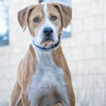 rescue lab hound mix augie ready for a great home at nsala 2017 images
