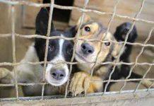 under pressure usda adjusting animal welfare purge 2017 images