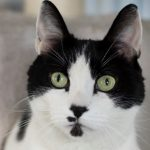 Rescue Cat of the Week: Joey at North Shore Animal League America