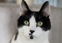 Rescue Cat of the Week Joey at North Shore Animal League America 2017 images