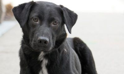 rescue black lab costello ready to spring into a new home 2017 images