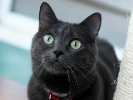 rescue cat pepper is ready to spice up a new homes life 2017 images