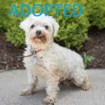 adopted rescue maltese puppy mill nsala