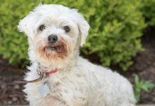 meet mrs tyler nsala rescue maltese for adoption