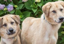 rescue corgi's febo and fido ready to pair up with a new home 2017 images