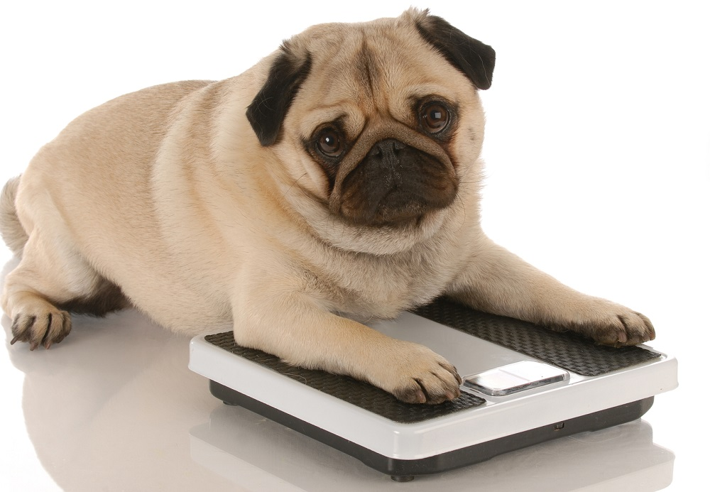 pug dog weighing another pug