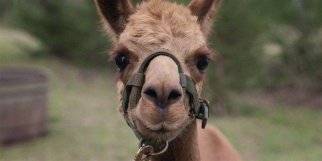 Walker llama face head on 1.14.